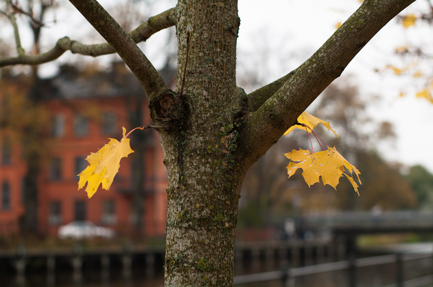 Autumn leaves on tree, Uppsala, Sweden